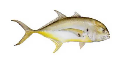 Puerto vallarta fishing library jack crevalle for What is a jack fish